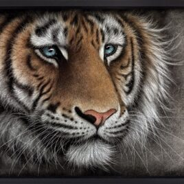 Braveface, tiger, limited edition print, by Colin Banks